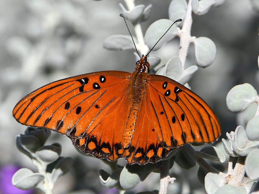 Post your Moths & Butterflies-frit.jpg