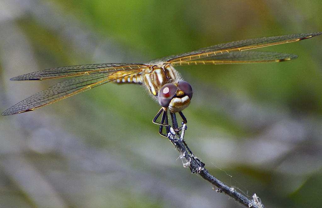 dragonflies and bees/wasps-_roy6321.jpg