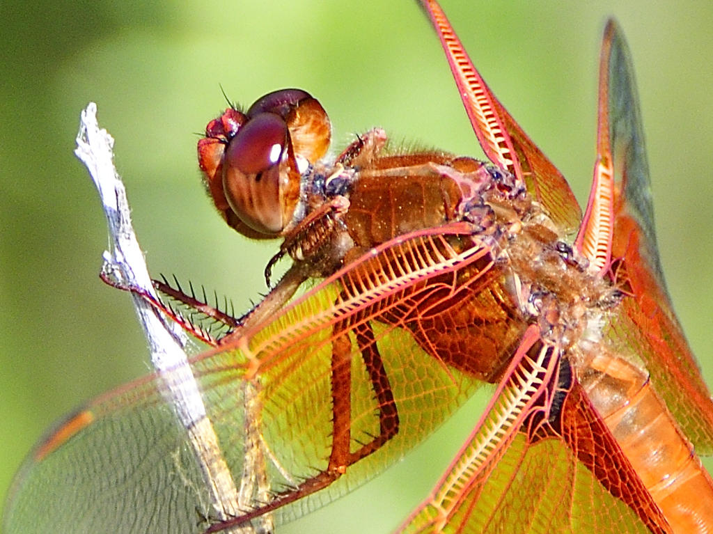 dragonflies and bees/wasps-_roy6326.jpg