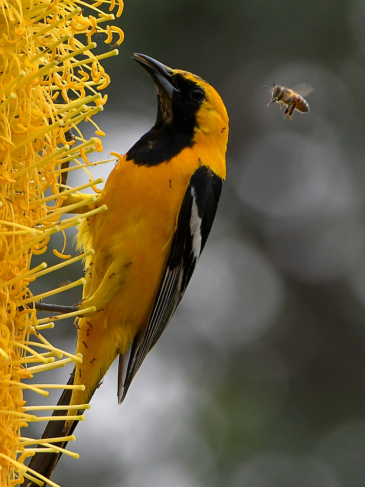 Post your Bees in Flight photos!-oriole2.jpg