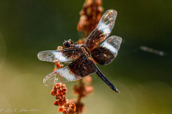 dragonflies and bees/wasps-20190706-_d714405.jpg