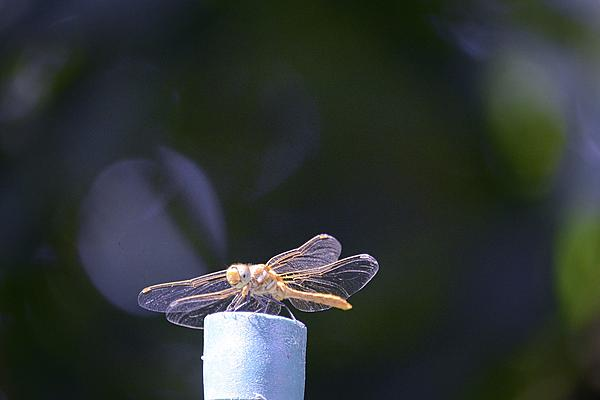 dragonflies and bees/wasps-dsc_1158.jpg