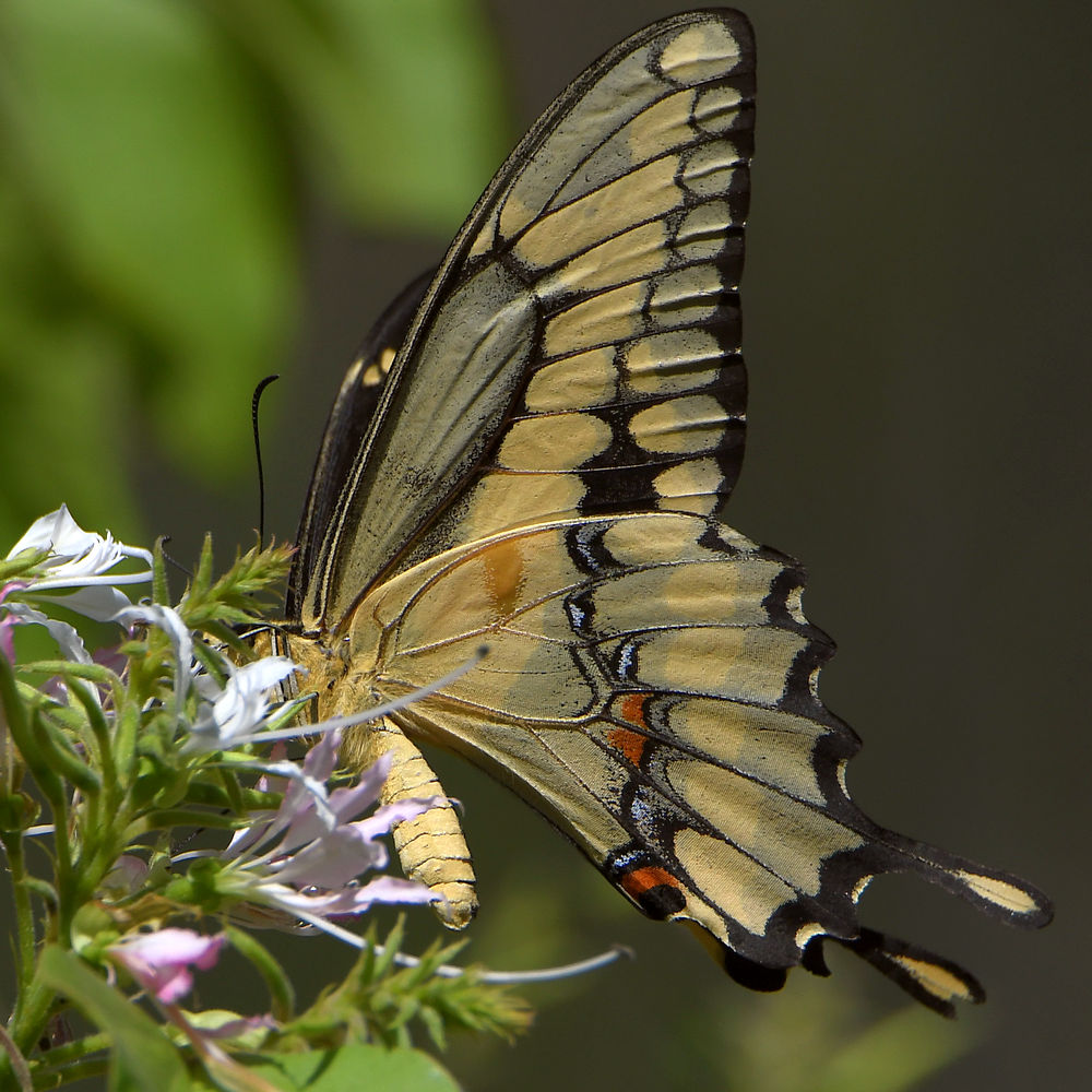 Post your Moths & Butterflies-swallowtail.jpg