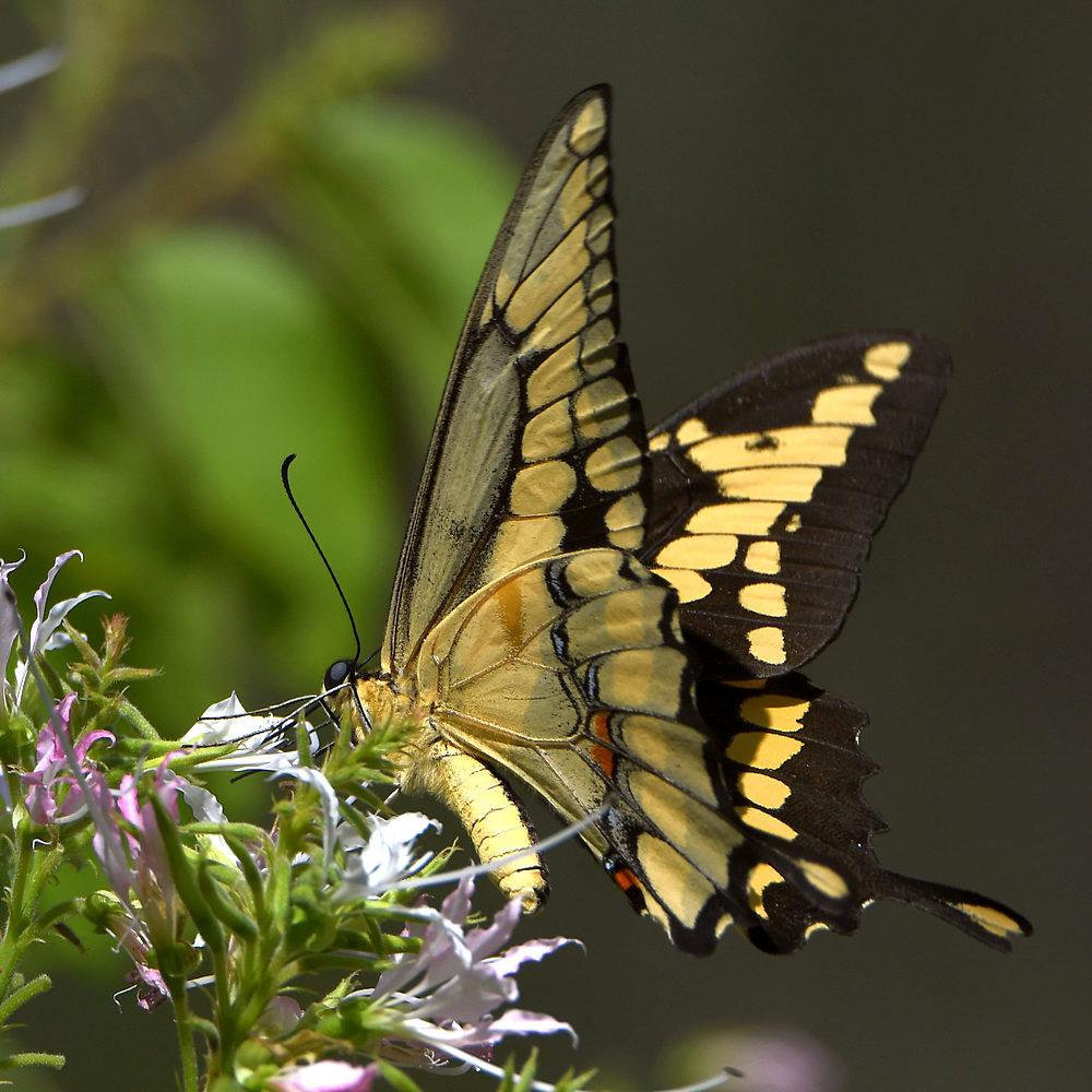 Post your Moths & Butterflies-swallowtail6.jpg