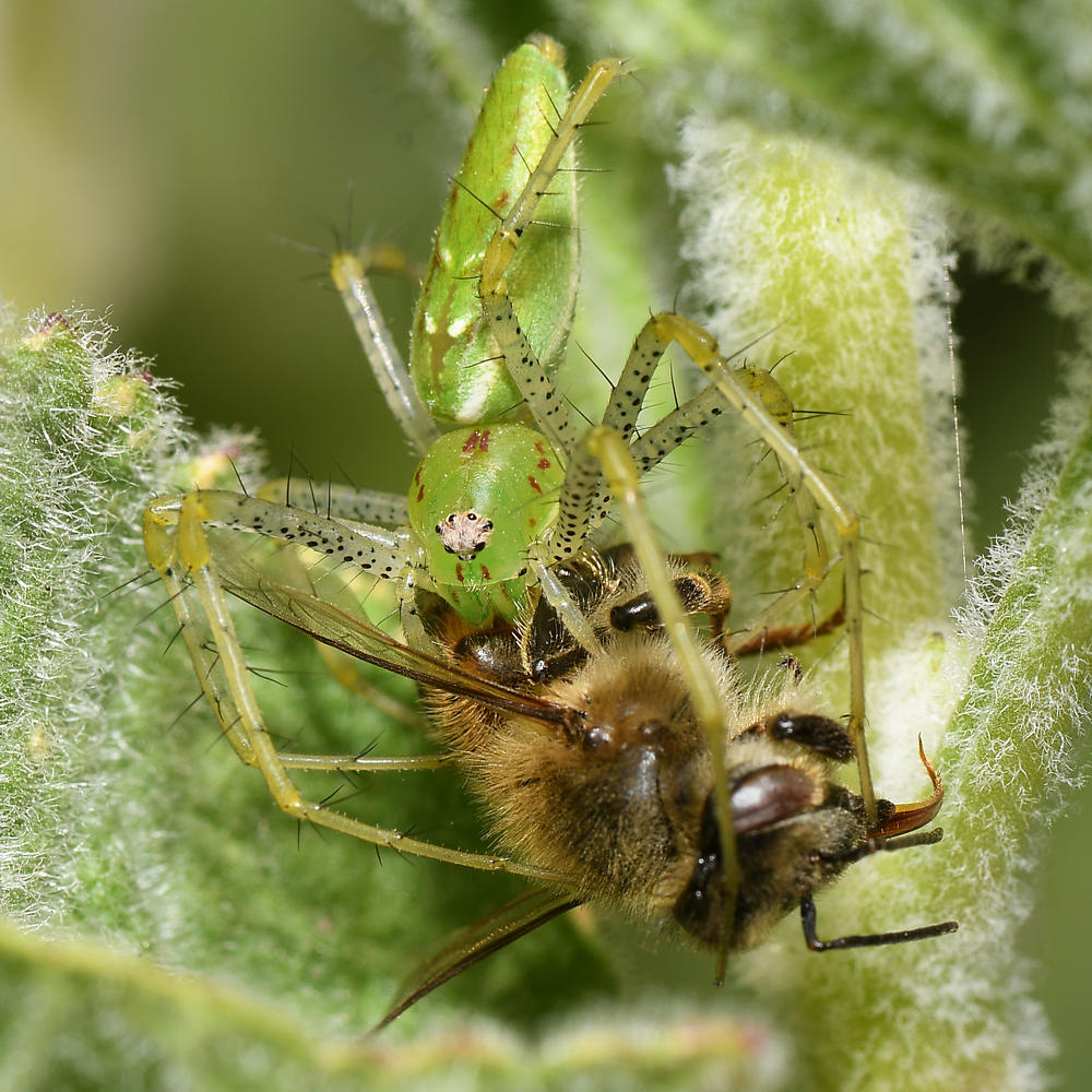 Post your spiders-lynx2.jpg
