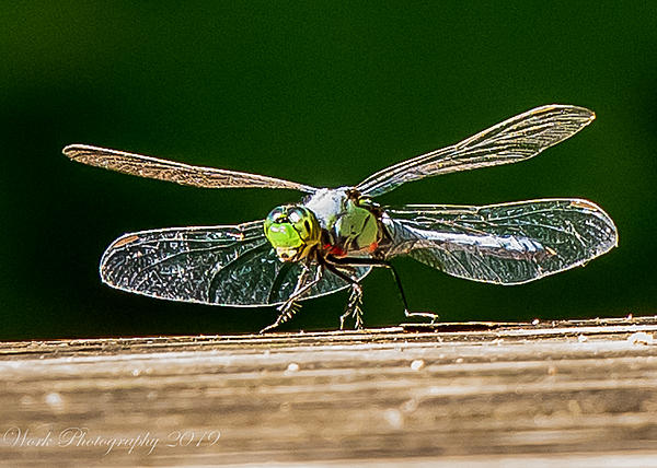 dragonflies and bees/wasps-untitled-shoot-6681.jpg