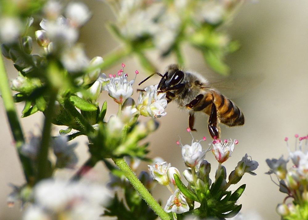 Post your Bees in Flight photos!-_roy7340.jpg