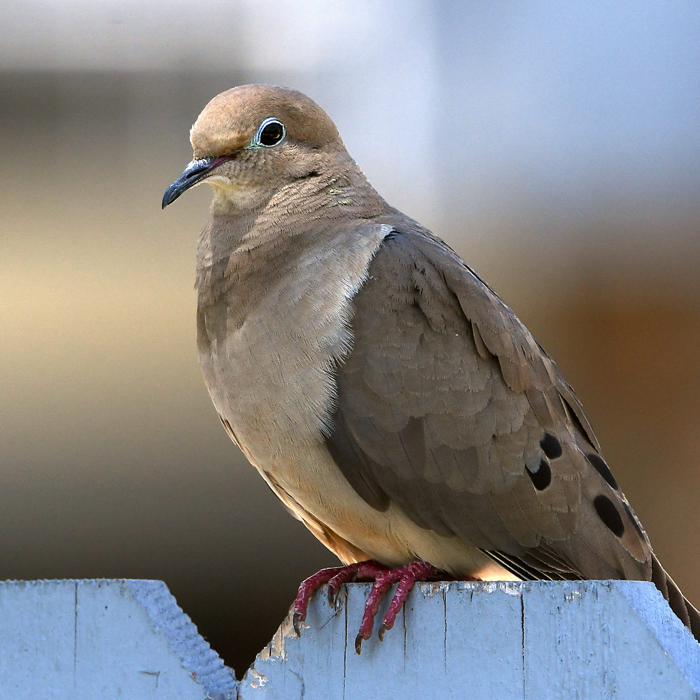 Post your birds (2)-dove.jpg