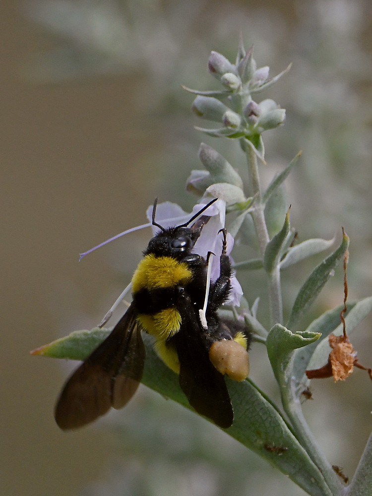 dragonflies and bees/wasps-bee2.jpg