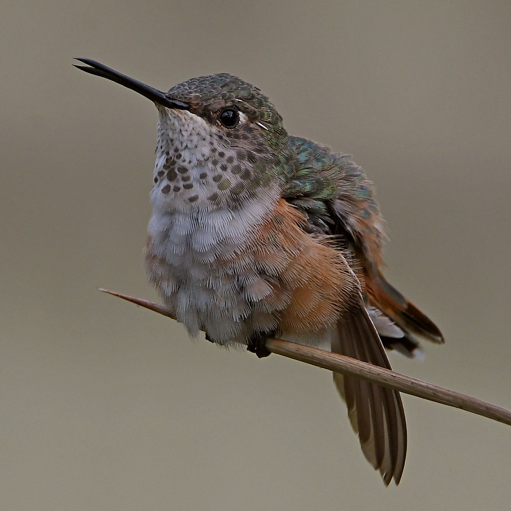 Post your birds (2)-hummer12.jpg