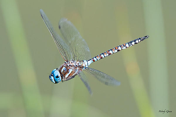 dragonflies and bees/wasps-dragonfly-400.jpg