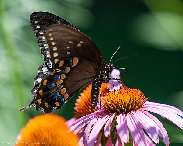 Post your Moths & Butterflies-cove-springs-5262.jpg