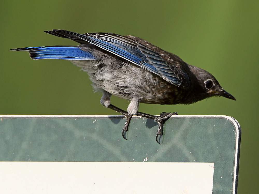 Post your birds (2)-bluebird7.jpg