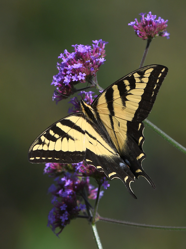 Post your Moths & Butterflies-swallowtail5.jpg