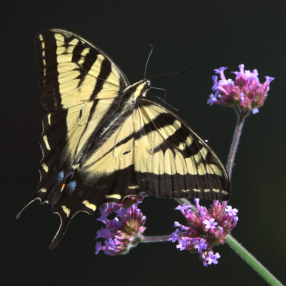 Post your Moths & Butterflies-swallowtail7.jpg