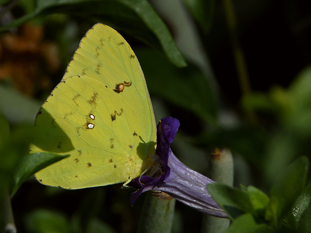 Post your Moths & Butterflies-sulfur.jpg