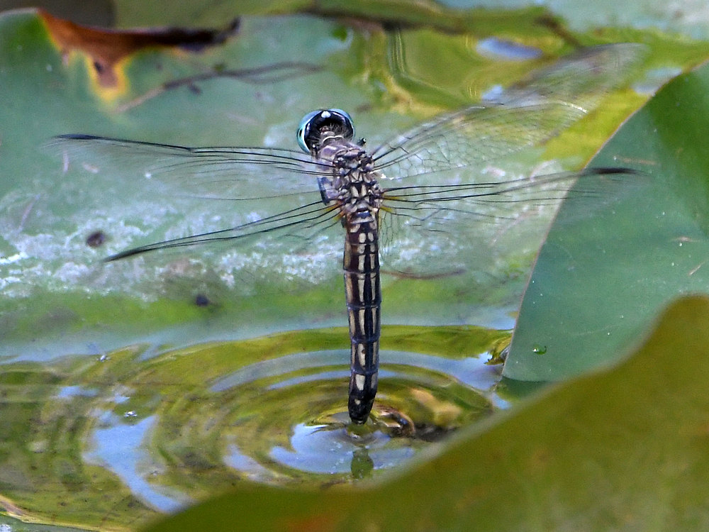 dragonflies and bees/wasps-dragonfly.jpg