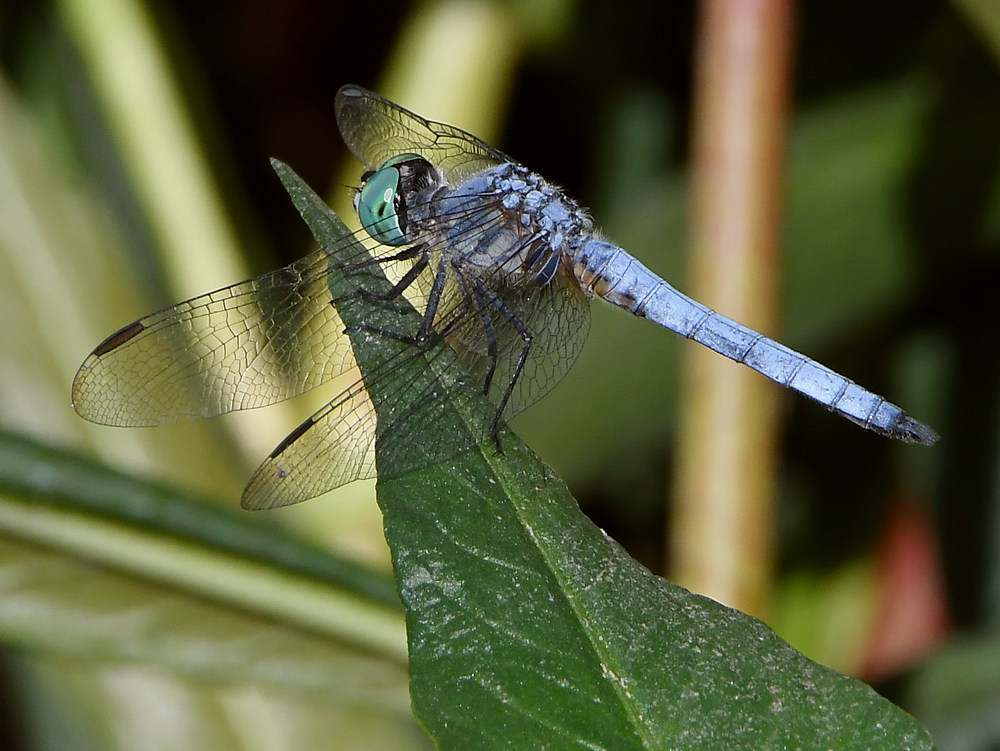 dragonflies and bees/wasps-dragonfly4.jpg