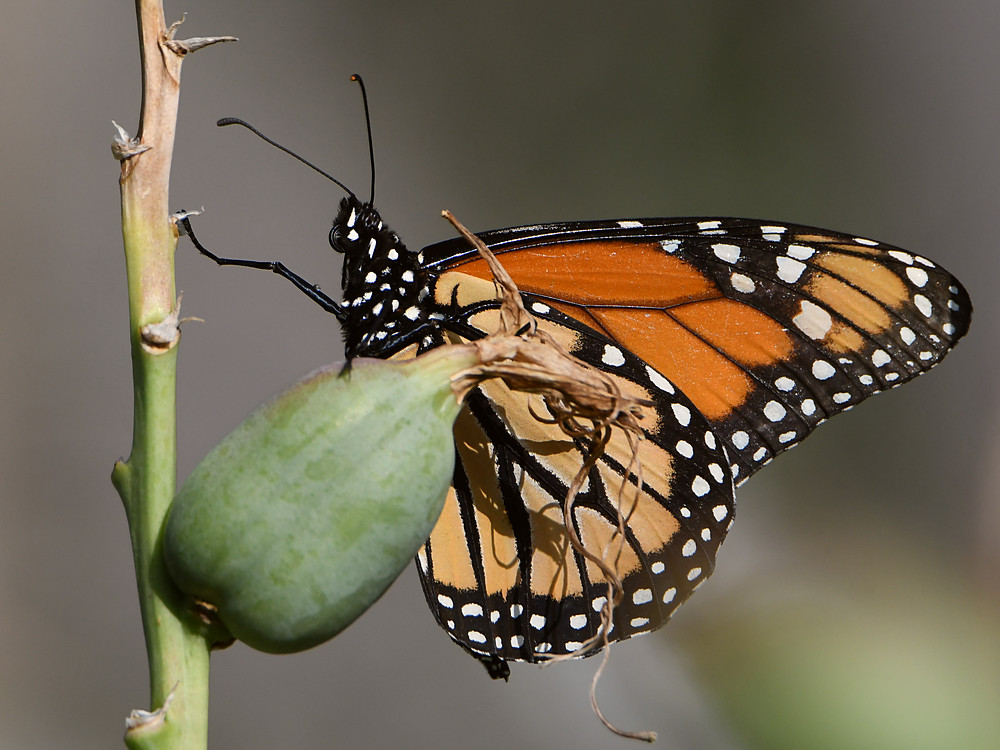 Post your Moths & Butterflies-monarch.jpg