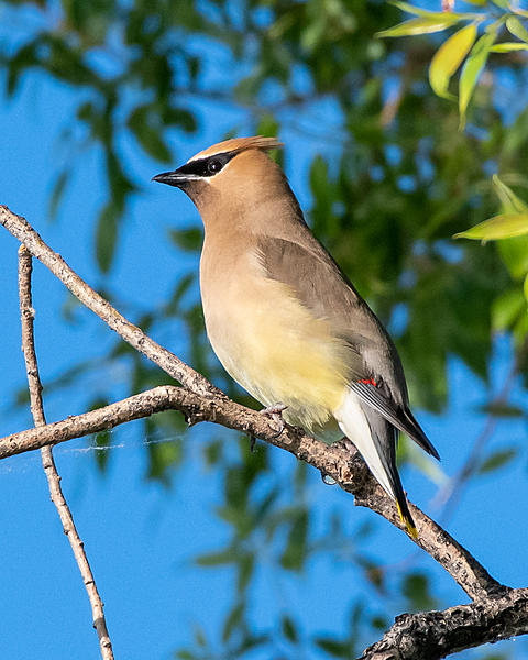 Post your birds (2)-cedarwaxwing-400.jpg