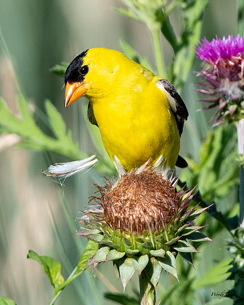 Post your birds (2)-goldfinch-420.jpg