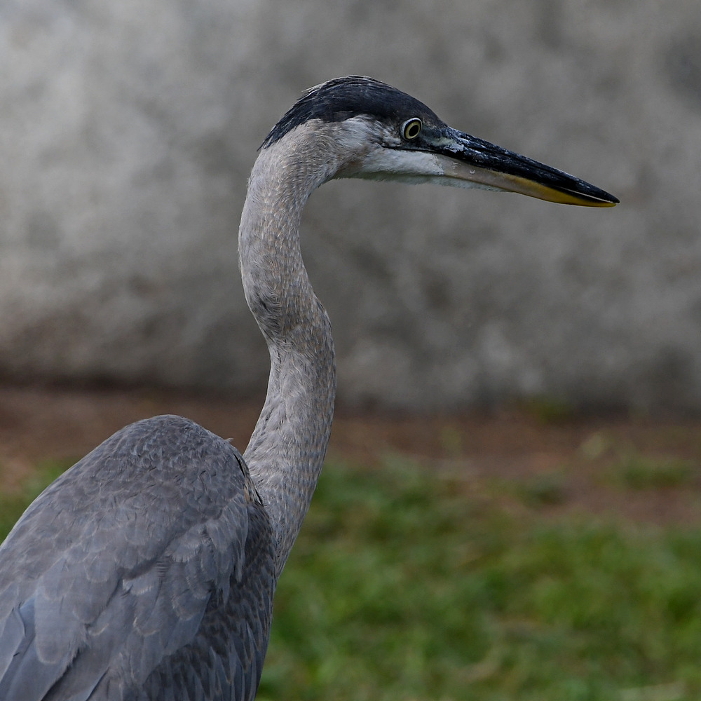 Post your birds (2)-blueheron.jpg
