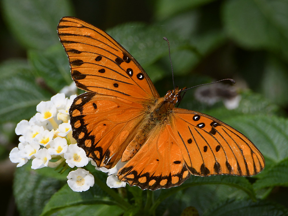 Post your Moths & Butterflies-frit2.jpg