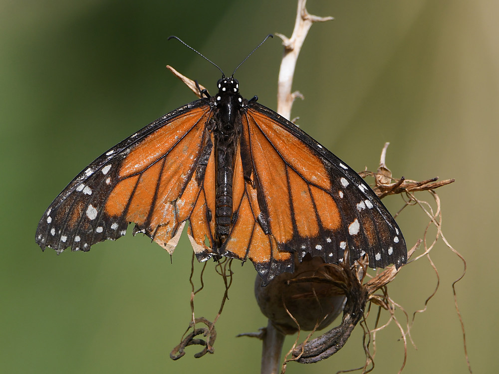Post your Moths & Butterflies-monarch2.jpg