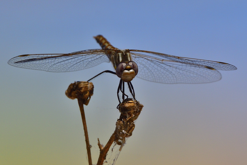 dragonflies and bees/wasps-_roy9757_00001.jpg