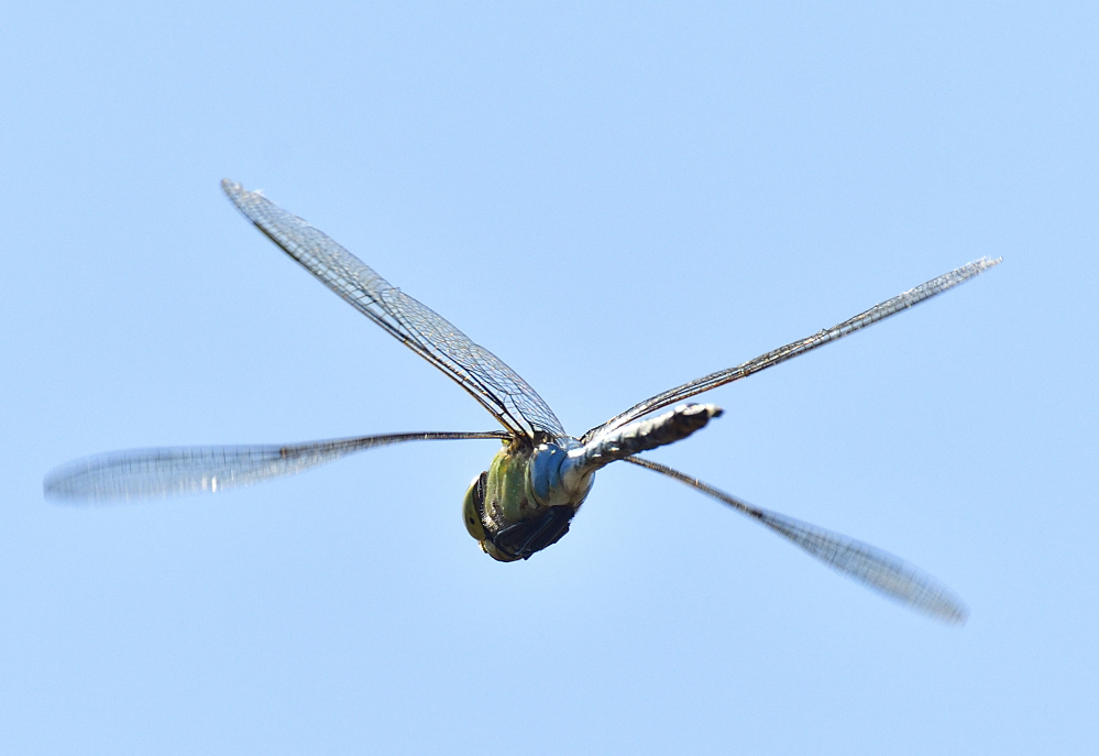 dragonflies and bees/wasps-_roy9844_00001.jpg