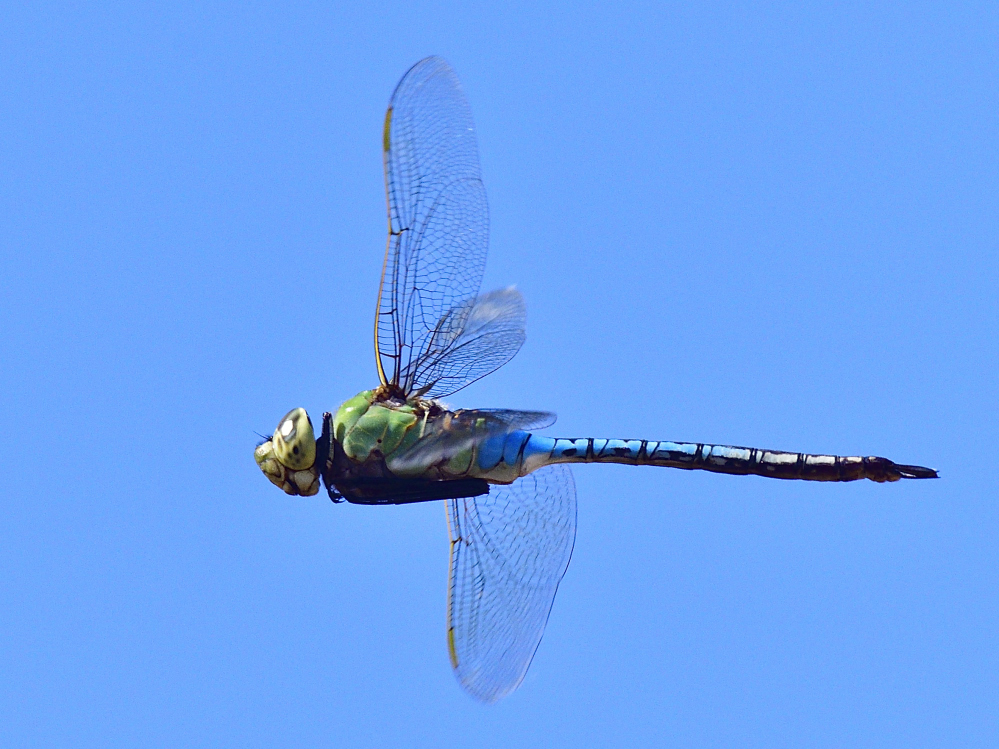dragonflies and bees/wasps-_roy9851_00001.jpg