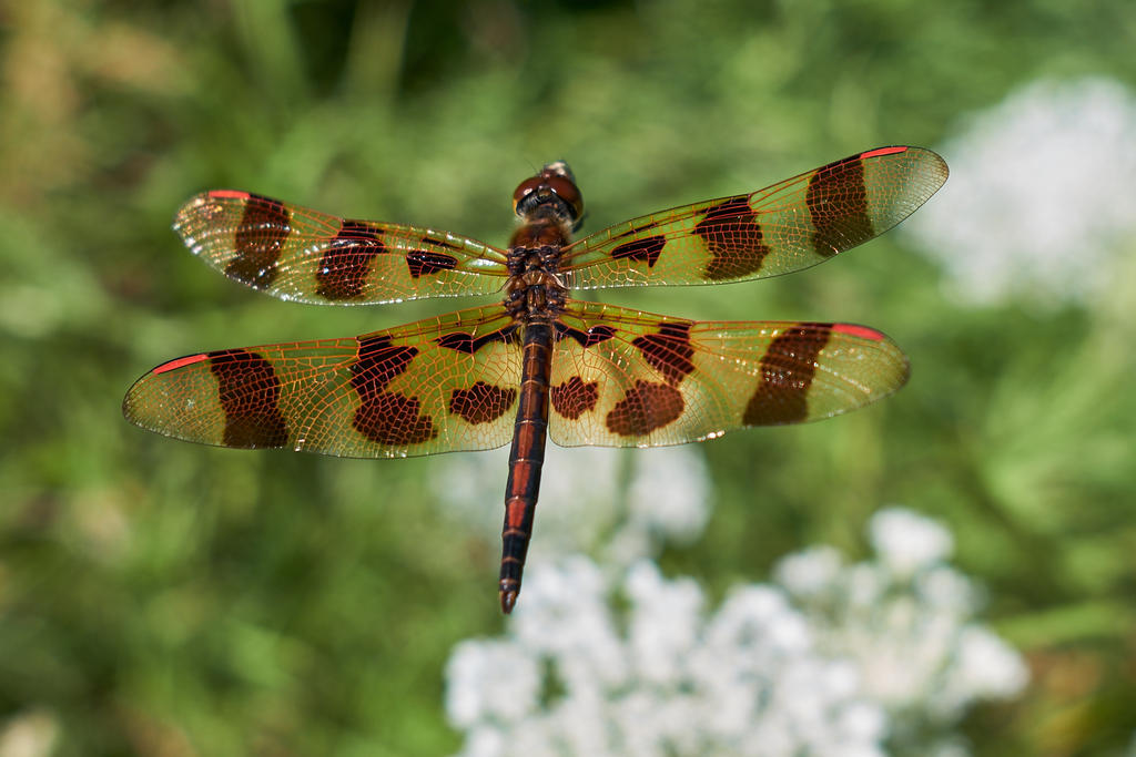 Post your dragonflies and bees/wasps-_3xt1133.jpg