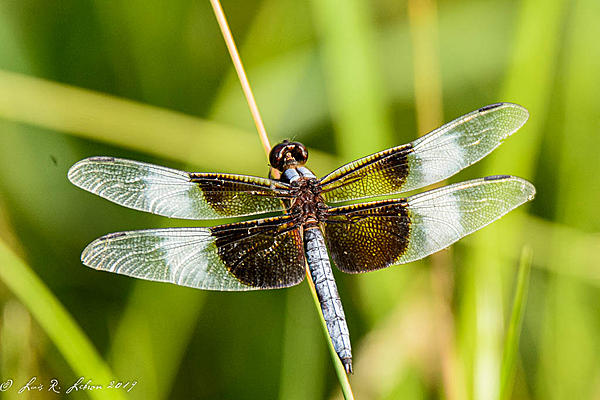 dragonflies and bees/wasps-20190810-_d716943.jpg