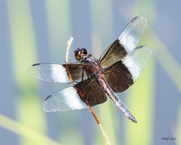 dragonflies and bees/wasps-df-451.jpg
