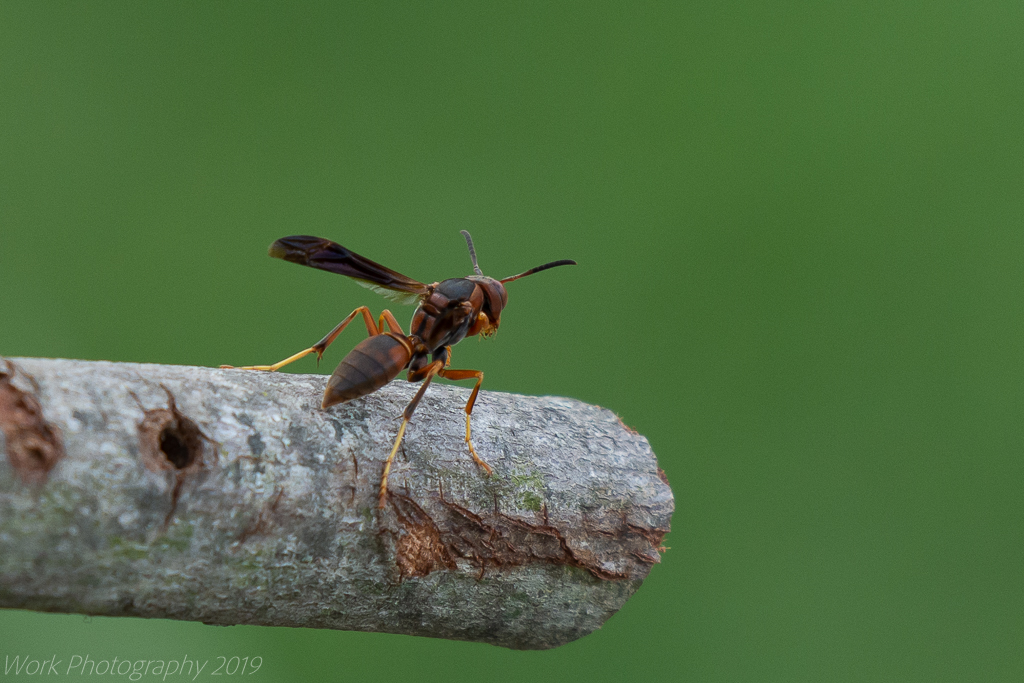 Post your dragonflies and bees/wasps-untitled-shoot-8676.jpg