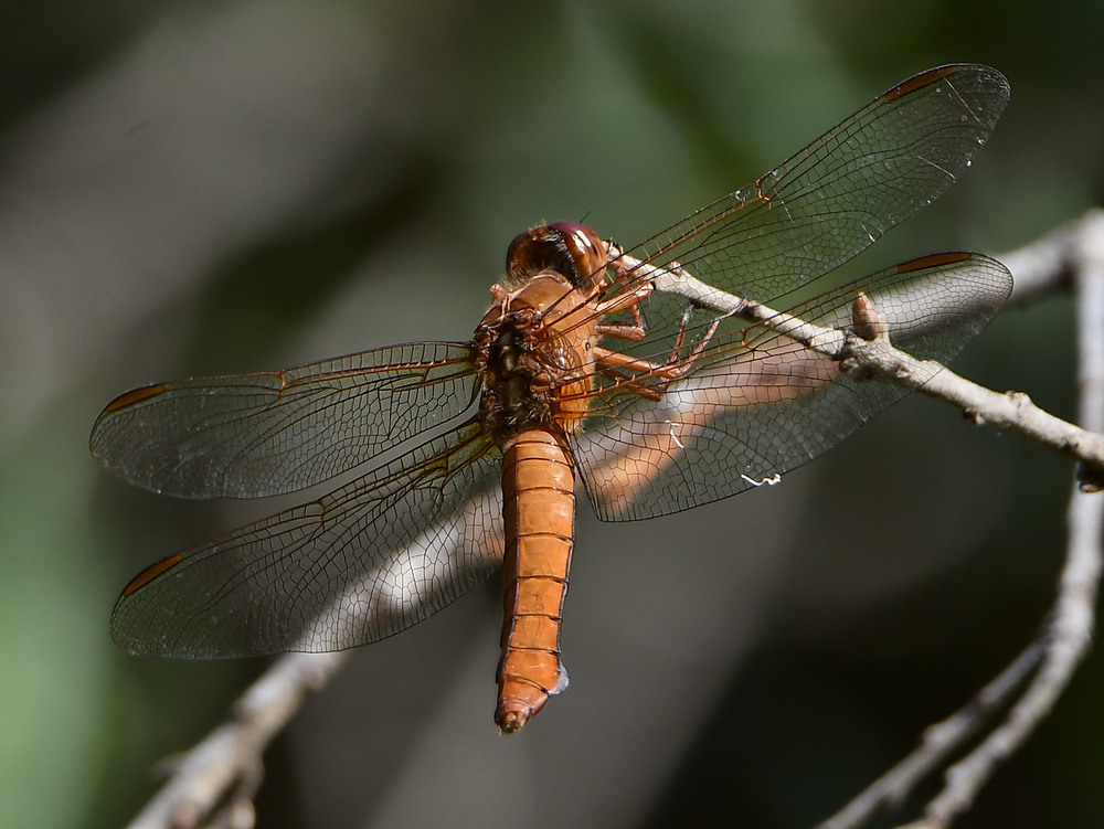Post your dragonflies and bees/wasps-dragonfly.jpg