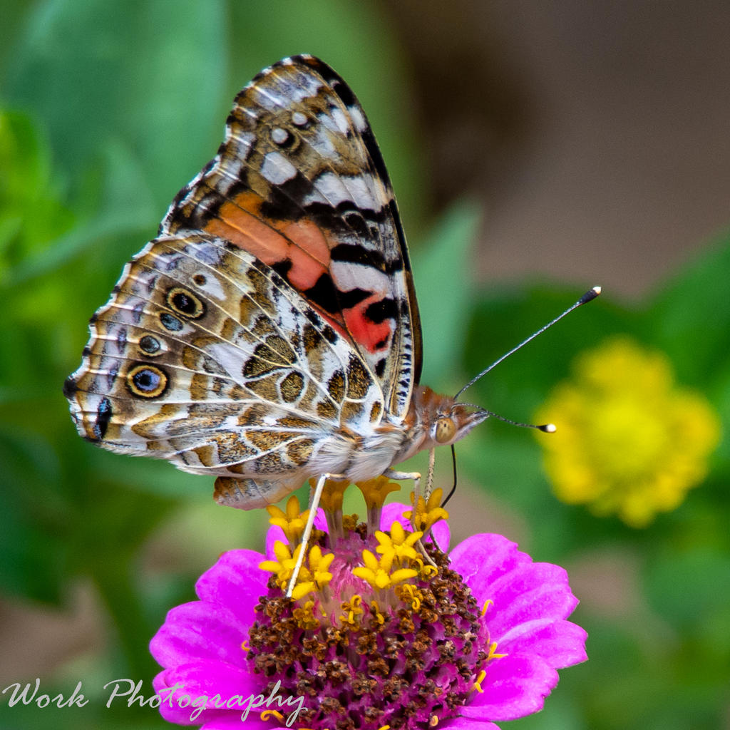 Post your Moths & Butterflies-butterflies-0761-2.jpg