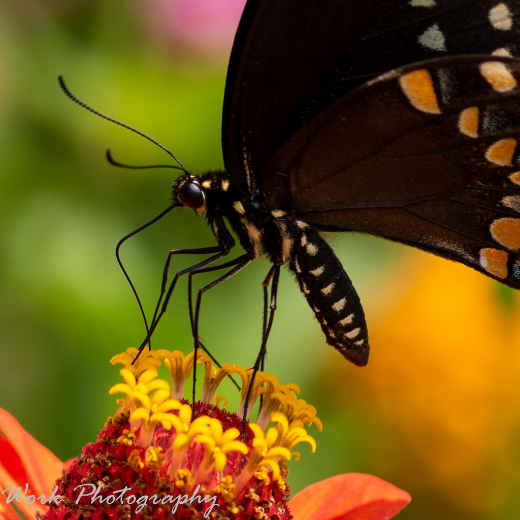Post your Moths & Butterflies-butterflies-7897.jpg