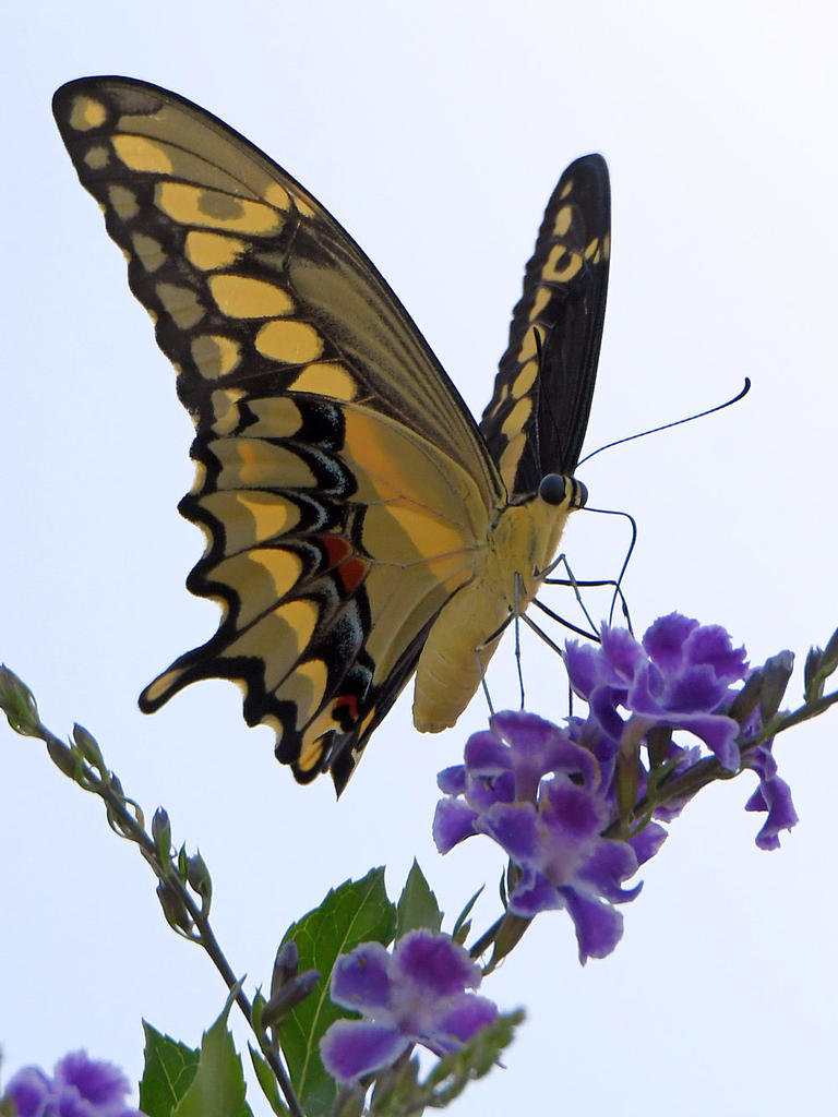 Post your Moths & Butterflies-swallowtail2.jpg