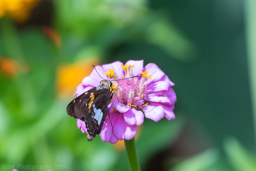 Post your Moths & Butterflies-untitled-shoot-5967.jpg