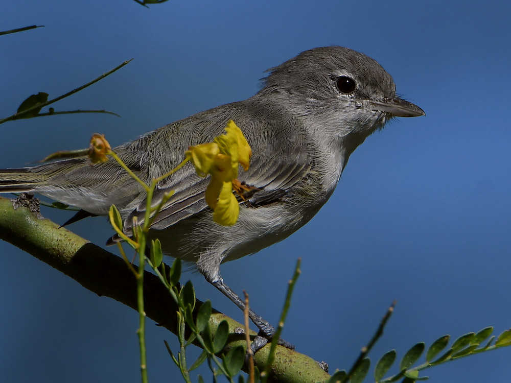 Post your birds (2)-bellsvireo2.jpg