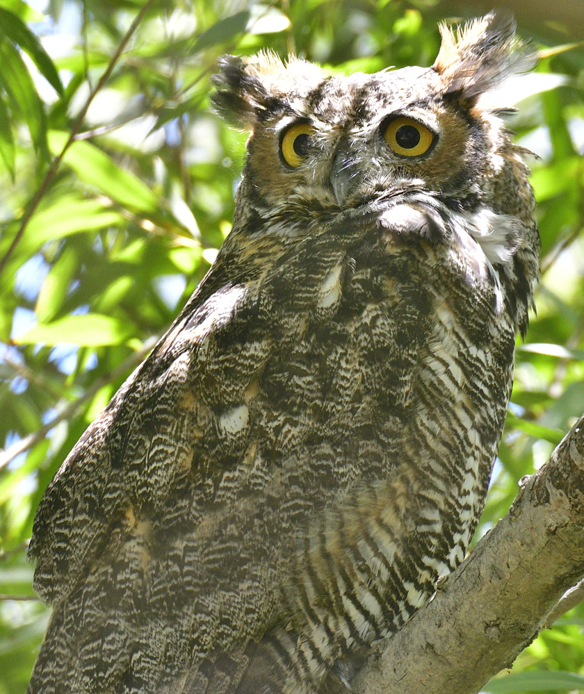 Great Horned Owls-_roy0148_00001.jpg
