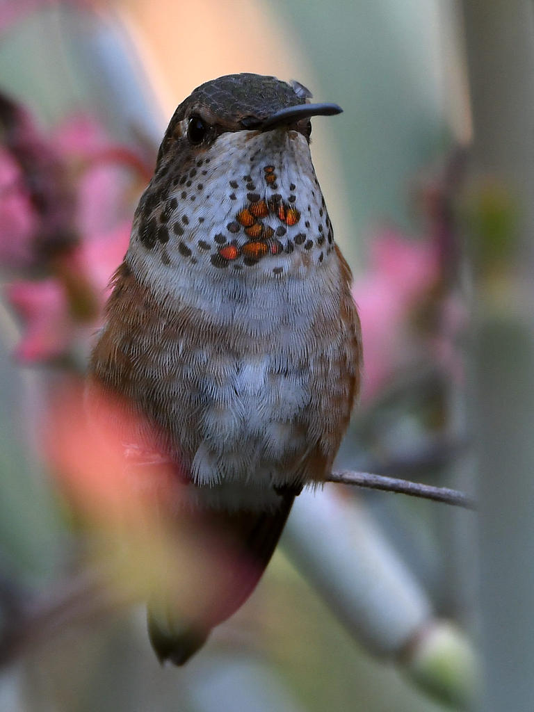 Post your Hummingbird Photos-hummer14.jpg