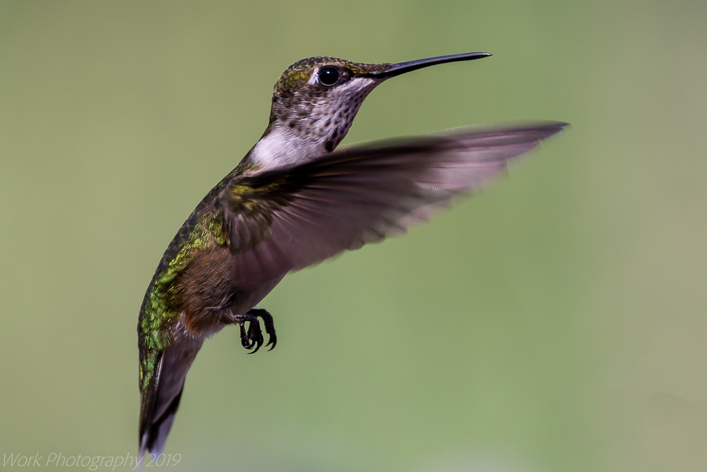 Post your Hummingbird Photos-untitled-shoot-8923-edit.jpg