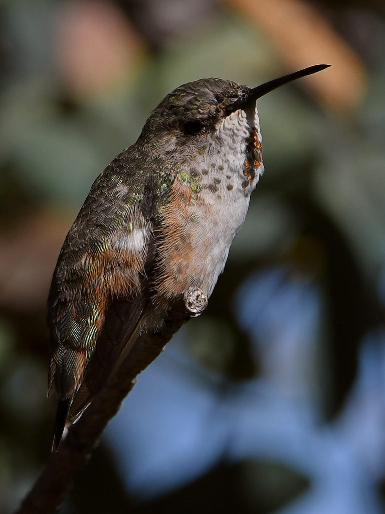 Post your Hummingbird Photos-hummer21.jpg