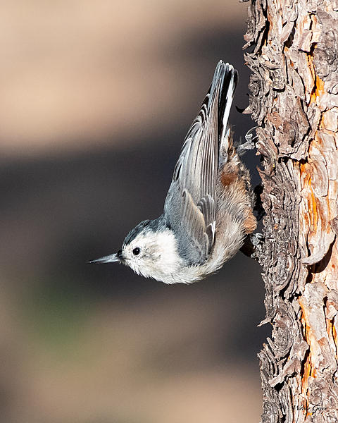 Post your birds (2)-wbnuthatch-401.jpg