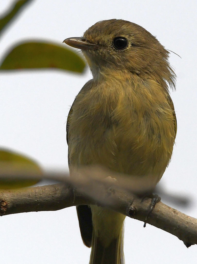 Post your birds (2)-vireo2.jpg
