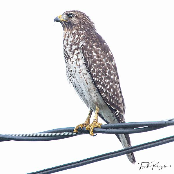 Post your birds (2)-hawk2-1.jpg
