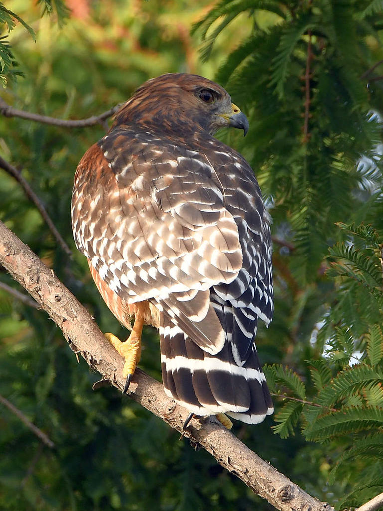 Post your birds (2)-hawk.jpg