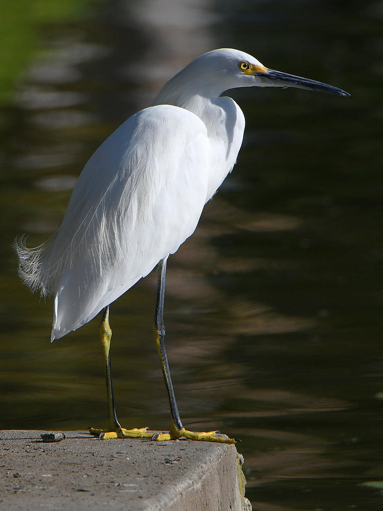 Post your birds (2)-egret.jpg